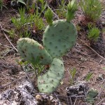Prickly Pear Cactus in the Spring Green Preserve